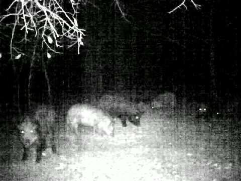 wild hogs in bamberg, sc