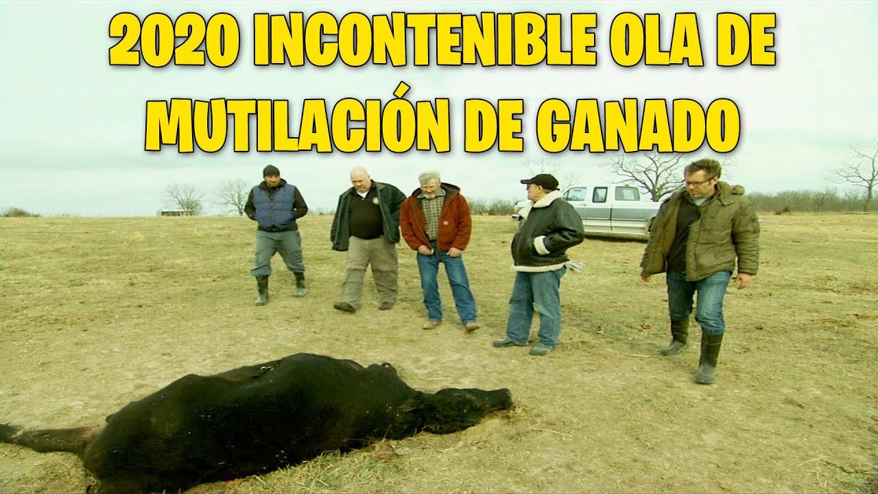 2020: La incontenible ola de mutilación de ganado