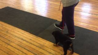 Zen - 10 Weeks Loose Lead Walking - Abbey Dog Training Swindon
