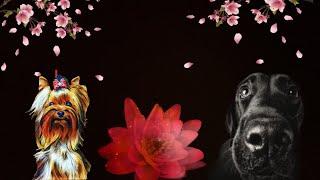 Снупи и старый друг #собаки #йорк