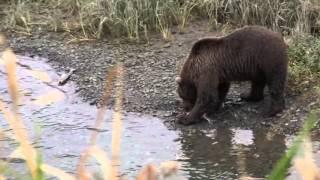 Kodiak Brown Bear up close