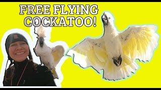 MEET BELLA A FREE FLYING UMBRELLA COCKATOO *free flighted parrot meetup*