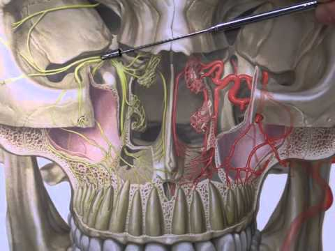 Netter's Atlas: Pterygopalatine Fossa -- Discussed by ...