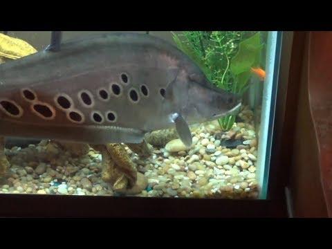 Feeding My Clown Knifefish In SLOW MOTION