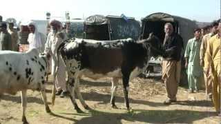 cattle market gujar khan pakistan with english translation