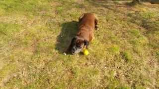 Dog (boxer) Vs Lemon