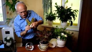 видео Кодиеум - виды, уход в домашних условиях, пересадка, размножение