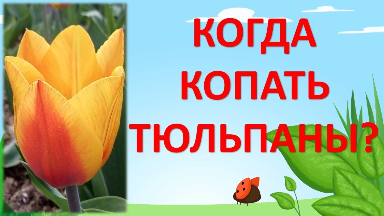 КОГДА ВЫКАПЫВАТЬ ТЮЛЬПАНЫ? Как выращивать тюльпаны. Выращивание тюльпанов.
