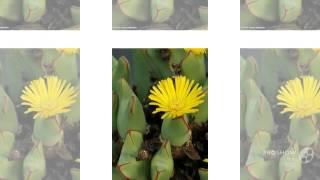 Conophytum - garden plants
