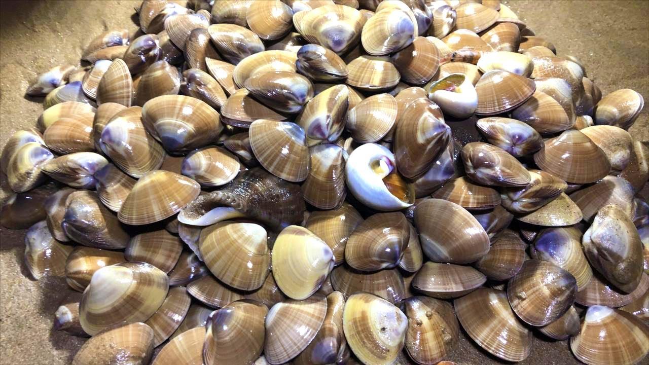 小章赶海遇到海鲜老巢,蛤蜊海葵抓不停,赶海收获爆棚了【赶海小章】