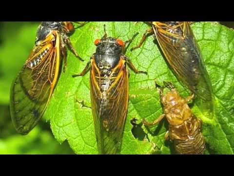 KHZTV.com's Ask the Entomologist Cicadas Show with Royal Pes