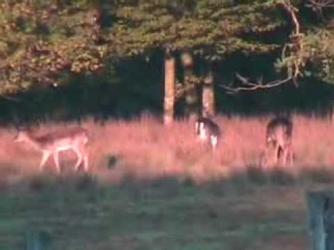 Fallow deer doe hunt Croatia 31 10 2012