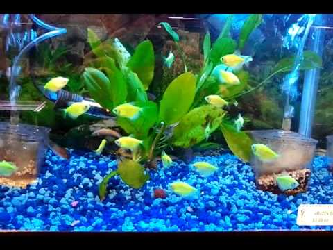 GLOFISH ELECTRIC GREEN TETRAS.mp4 - YouTube