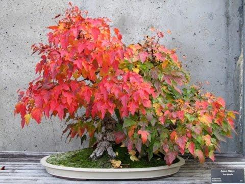 Bonsai training information acer rubrum youtube - Arce rubrum bonsai ...