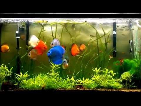 Ideal Temperature For Discus Fish