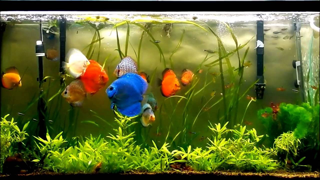 Ideal temperature for discus fish youtube for Fish tank temperature