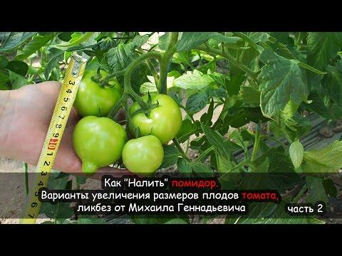 Как ''Налить'' помидор. Варианты увеличения размеров томата, ликбез от Михаила Геннадьевича, часть 2