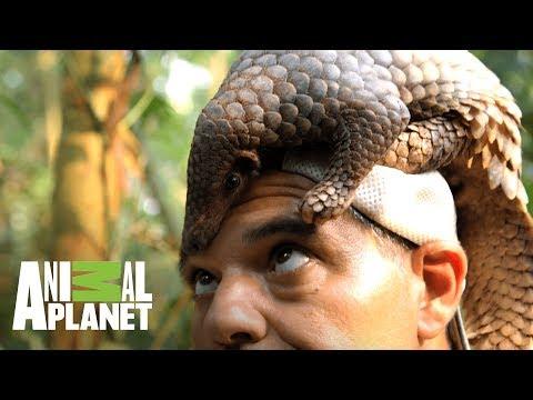 Pangolín se enrolla para protegerse | Wild Frank: En busca del dragón | Animal Planet