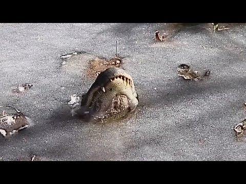 Alligatorer lader sig fryse fast med snuden over isen - DR Nyheder