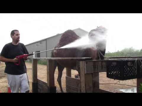Call 815-600-6464 How to wash a Camel, Camel Play, Washing a Camel, Clean, Dirty Camel