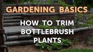 How to Trim Bottlebrush Plants