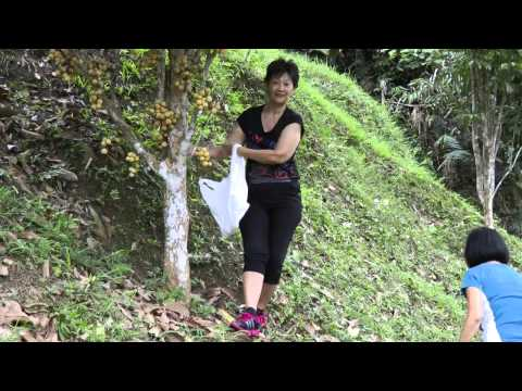 Picking the Malaysian Fruit - Dokong [Lansium parasiticum]