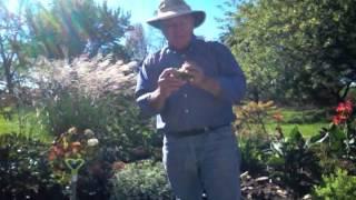 Flower Bulb Tips - Dividing Daffodils