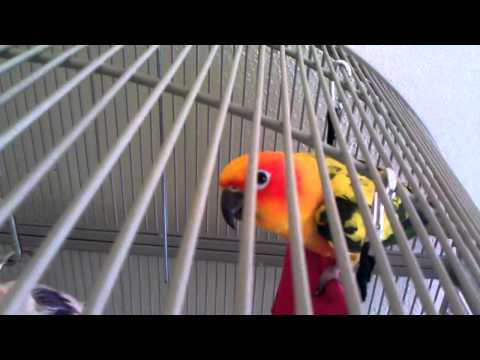 Sun Conure saying Hello and laughing