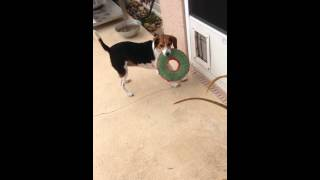Must watch~Our Beagle dog proving round pegs CAN fit in square holes LOL Too funny! Determination!