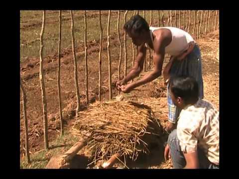 Cultivation practice of paddy straw mushroom Odia PRAGATI Odisha