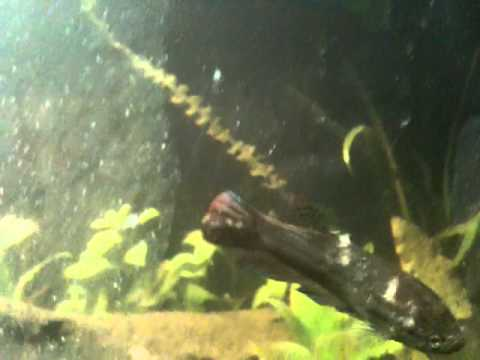 betta fungus youtube