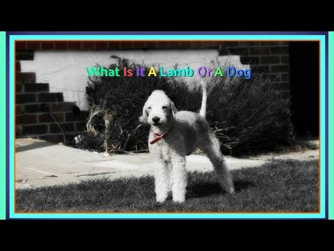 What Is It A Lamb Or A Dog,Meet The Bedlington Terrier