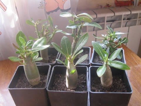 Выращивание Адениумов из семян в домашних условиях.Опыт