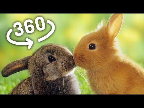360 VR Video Super Cute BUNNIES for VR Box 360 VR