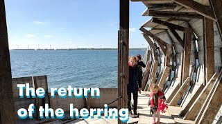 The return of the herring thumbnail