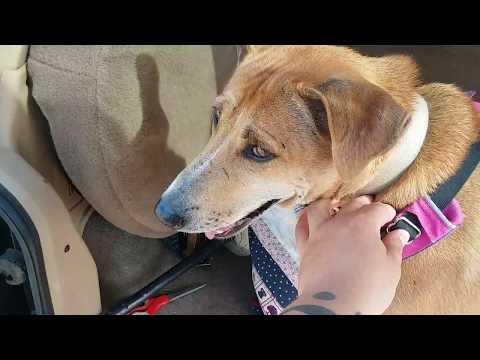 Tick Infestation - Dog Covered In 30 Lyme Ticks