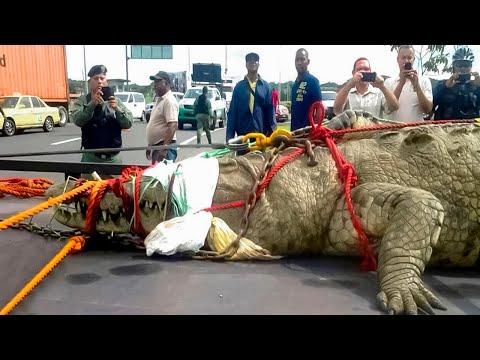 10 grössten Krokodile der Erde