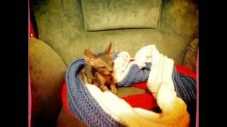 Котенок канадского сфинкса. Джонни разыгрался. Кот 1,5 месяца. Канадский сфинкс лысый кот