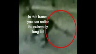 Analysis of 1973 Thylacine Footage