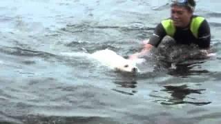 バリ島の犬 (キンタマーニドック) の太郎の初泳ぎ。(生後約6ヶ月。山...