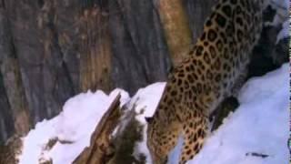 Дальневосточный леопард.mpg