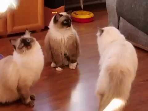 Koty Ragdoll  - hodowla Snow Fluff Cat * PL