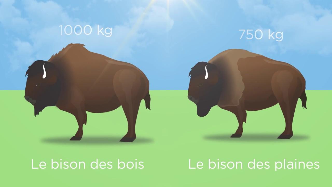 Le bison d 39 am rique youtube - Coloriage bison d amerique ...