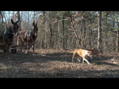 Mule Driven Squirrel Hunt