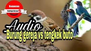 Download Lagu Suara Burung Gereja Vs Tengkek Buto MP3