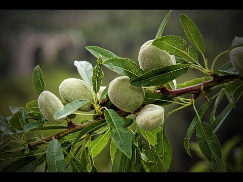 How to grow an almond tree from seed !