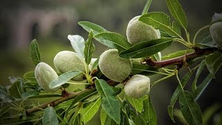 vuclip How to grow an almond tree from seed !