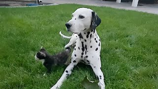 Kitten's first outdoor adventure with Dalmatian buddy on the watch