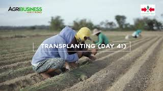 How to Grow Onion Part 2  Area Preparation, Direct Seedling Transplanting, Farm Management
