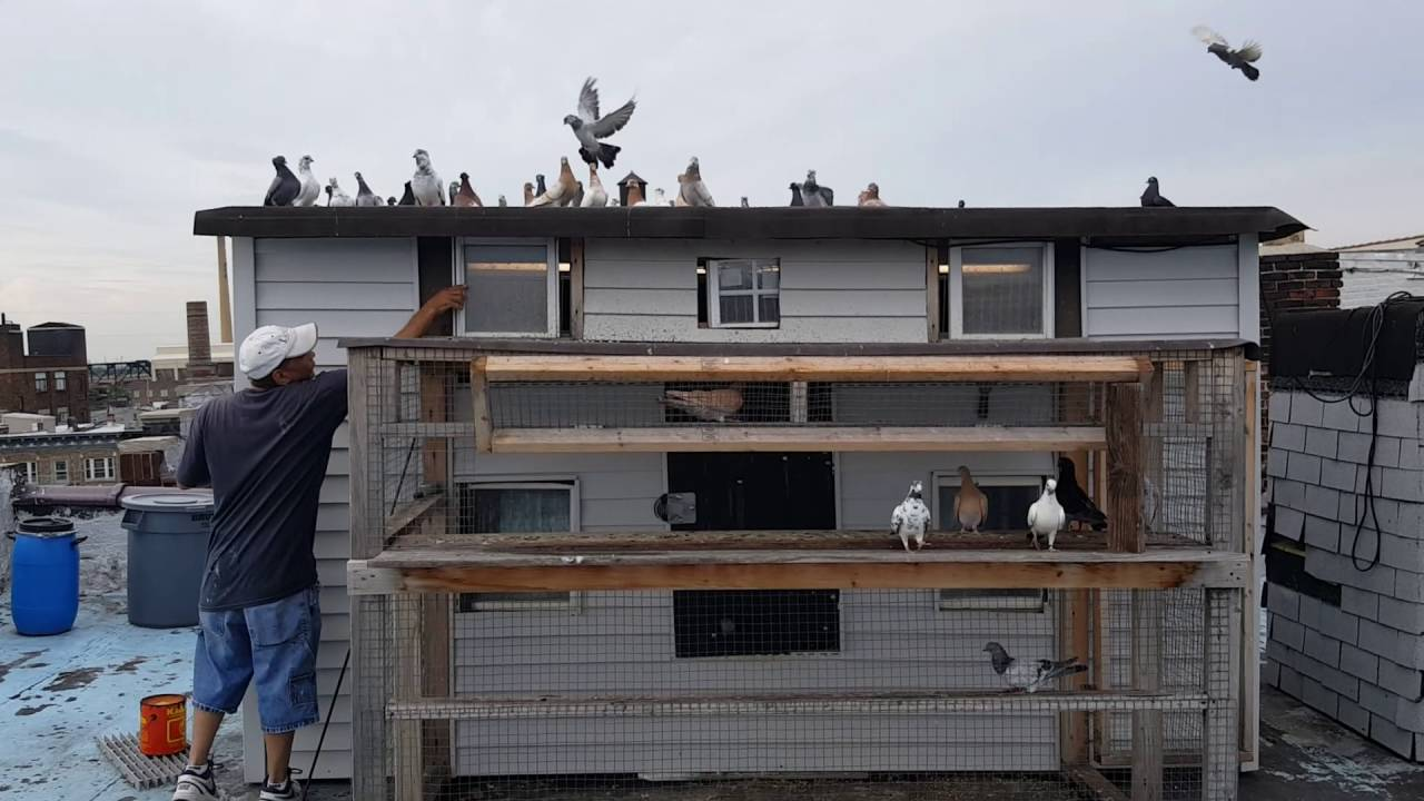 Tomas Mendez Shows His Tipplet Loft Pigeons Tipplets Roof